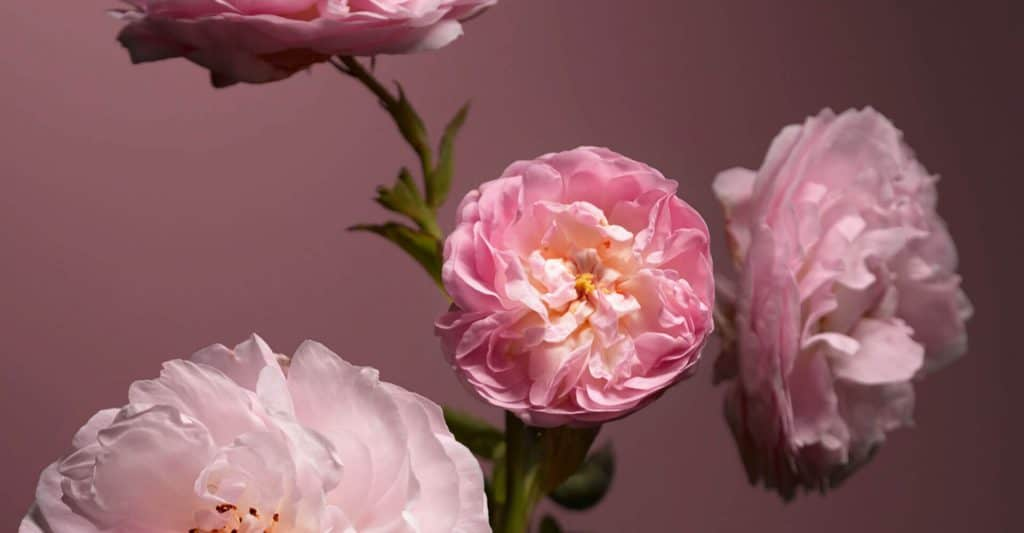 rosa dr hauschka