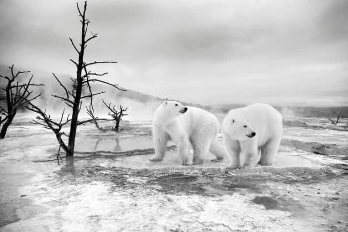 dos-osos-paleares-paseando-por-el-hielo-768x512
