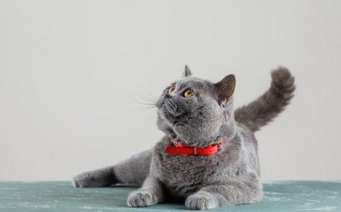 gato moviendo la cola